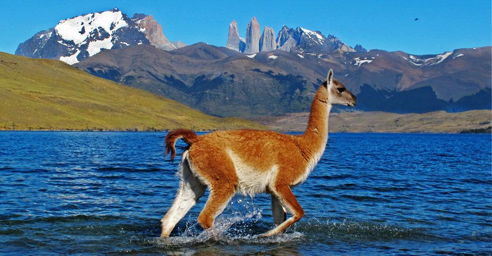 South-America-Patagonia-1-guanaco